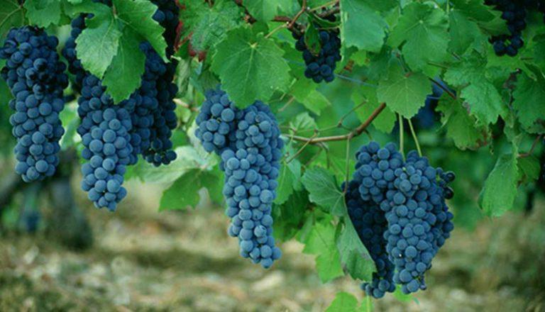 Grappoli di uve rosse